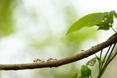 Mrówka socjalny sieć Obrazy Stock
