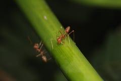 Mrówka spacer na gałązkach Zdjęcia Stock