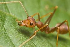 mrówka tkacz zdjęcia stock