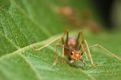 mrówka tkacz zdjęcia royalty free