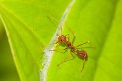 mrówka tkacz strażowy czerwony fotografia royalty free