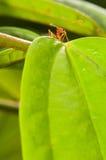 mrówka tkacz strażowy czerwony zdjęcie royalty free