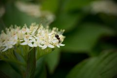 Mrówka w białym kwiacie Zdjęcia Stock
