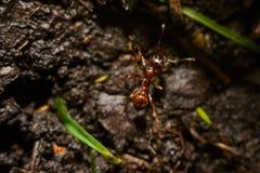 Mrówka w rewizi Fotografia Royalty Free