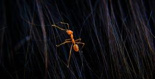 Mrówka w ten sposób dobra Zdjęcia Royalty Free