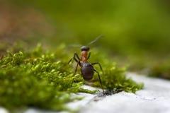 Mrówka w zielonej trawie zdjęcie stock