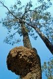 mrówka white gniazdo Fotografia Royalty Free
