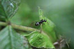 Mrówka zamknięty widok Zdjęcie Stock
