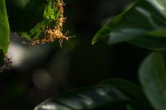 mrówka zielona czerwień liści Obrazy Stock