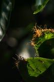 mrówka zielona czerwień liści Obrazy Royalty Free