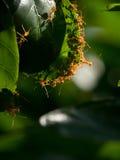mrówka zielona czerwień liści Obraz Royalty Free