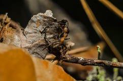 Mrówka, zwierzęta, makro-, insekt, członkonóg, natura, bezkręgowiec zdjęcie stock