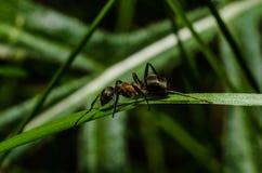 Mrówka, zwierzęta, makro-, insekt, członkonóg, natura, bezkręgowiec obraz stock