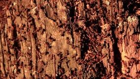 Mrówki żyją w starym brzoza fiszorku zdjęcie wideo