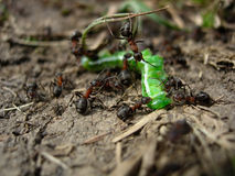 mrówki. Zdjęcia Stock