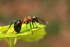 mrówki Obraz Stock