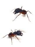 mrówki. Obraz Stock