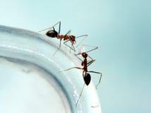 mrówki. zdjęcie royalty free