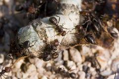 mrówki. zdjęcia royalty free
