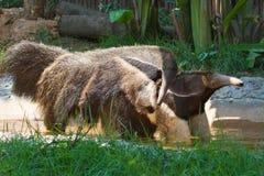 mrówki anteater niedźwiedzia rodzina Zdjęcie Stock