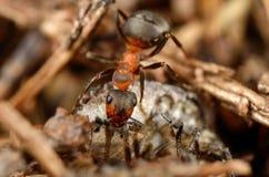 Mrówki łasowania pluskwa Odgórny widok Obrazy Royalty Free