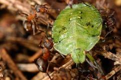 Mrówki atakować zielonej pluskwy Fotografia Royalty Free