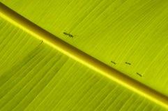 mrówki bananów rodzinny iść Zdjęcia Stock