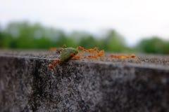 Mrówki biorą ich jedzenie gniazdeczko Fotografia Royalty Free