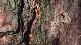 Mrówki chodzą wzdłuż ścieżki na barkentynie sosna zdjęcie wideo