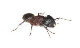 mrówki cieśli odosobniony biel fotografia stock