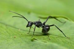 mrówki czerń Fotografia Stock