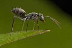 mrówki czerń zdjęcie stock