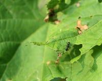 mrówki czerń ogródu lasius Niger Fotografia Royalty Free