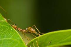 mrówki czerwień męczył Fotografia Royalty Free