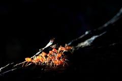 mrówki czerwień Obrazy Royalty Free
