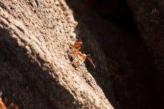 mrówki czerwień Fotografia Royalty Free