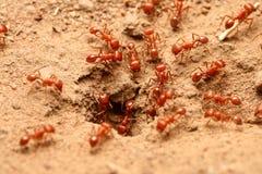 mrówki czerwone Obraz Royalty Free