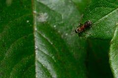 Mrówki główkowanie na liściu Obraz Stock