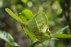 Mrówki gniazdują na bergamotowym drzewie Fotografia Stock