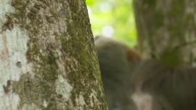 Mrówki i opieszałość na dżungla drzewnych bagażnikach, Costa Rica zbiory wideo