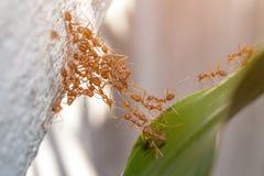Mrówki jedności bridżowa drużyna Obraz Stock