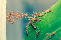 Mrówki jedności bridżowa drużyna Obrazy Royalty Free