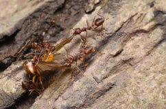 Mrówki kolonia Zdjęcia Stock