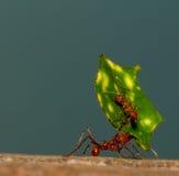 mrówki krajacza liść Fotografia Stock