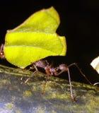 mrówki krajacza liść Zdjęcia Royalty Free