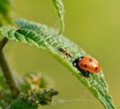 mrówki ladybird Zdjęcia Stock