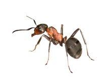 mrówki lasu lewa strona Zdjęcie Stock
