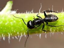 mrówki macro Fotografia Royalty Free