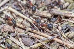 Mrówki makro- Obrazy Royalty Free