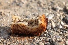Mrówki na chlebie obrazy royalty free